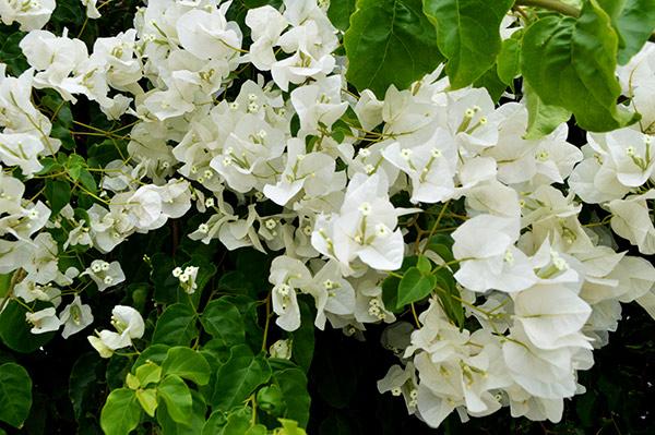 buganvilla-blanca